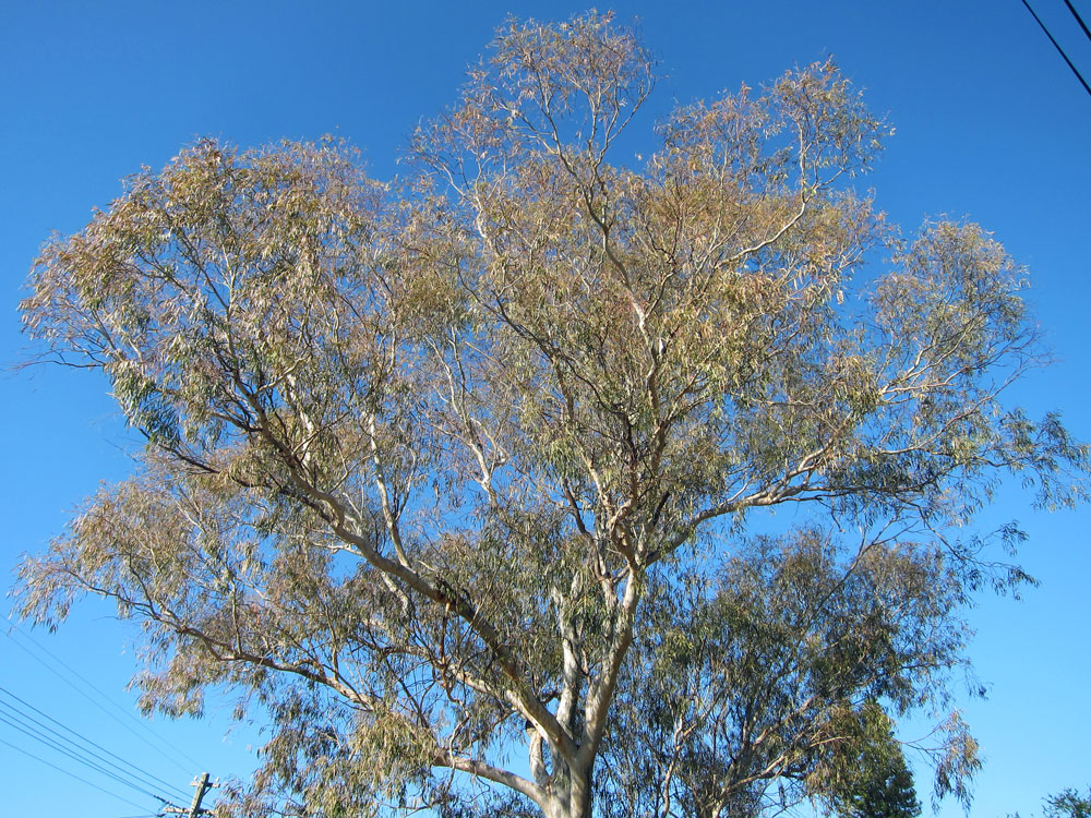 The canopy of this eucalypt tree has been damaged by thaumastocoris spp.