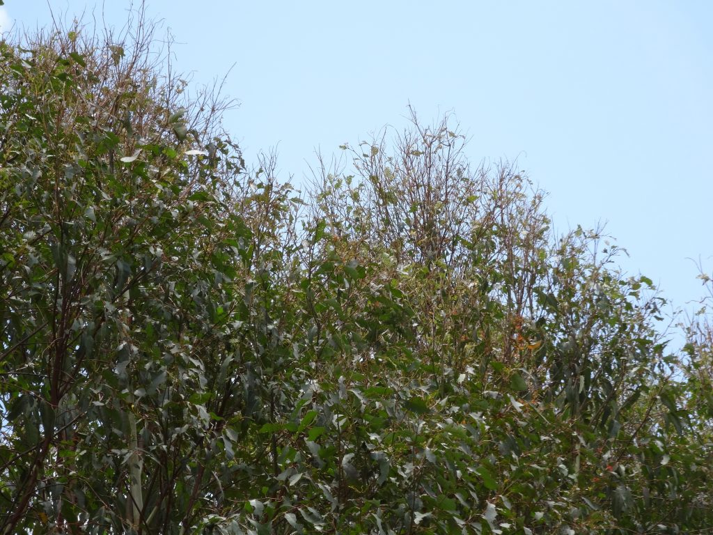 Upper crown defoliation and 'broomtopping' caused by Gonipterus larval feeding. Image: Simon Lawson, USC